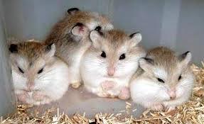 Roborovski Hamsters Rule!