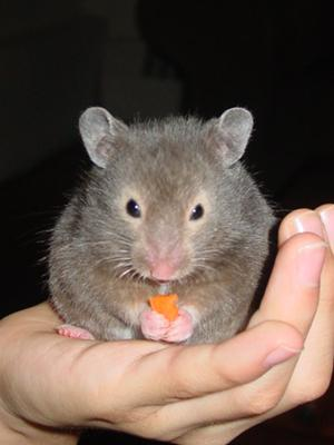 My hamster, Burton, eating salad fantasy